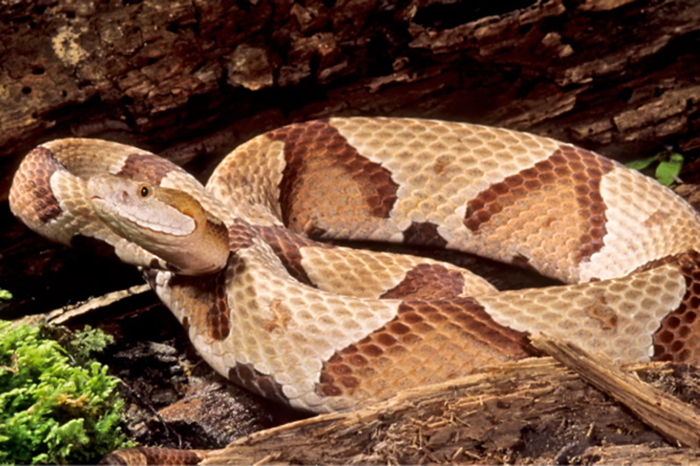 Venomous Snakes in Western Pennsylvania | UPMC HealthBeat on texas copperhead snake map, rattlesnake range map, cherskogo range map, copperhead snakes in west tennessee, snakes in ohio map, copperhead and cottonmouth snakes, cottonmouth snake territory map, poisonous snakes in illinois map, copperhead snakes southern illinois, pied-billed grebe range map, copperhead yardage book, coywolf range map, pa rattlesnake map, cottonmouth water moccasin range map, northern copperhead snake map, snakes habitat map, southern leopard frog range map, copperhead snakes in alabama, blue-ringed octopus range map, copperhead snakes in south carolina,