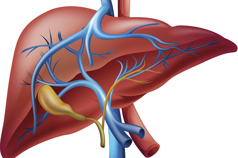 What Does The Liver Do For The Body About Liver Function